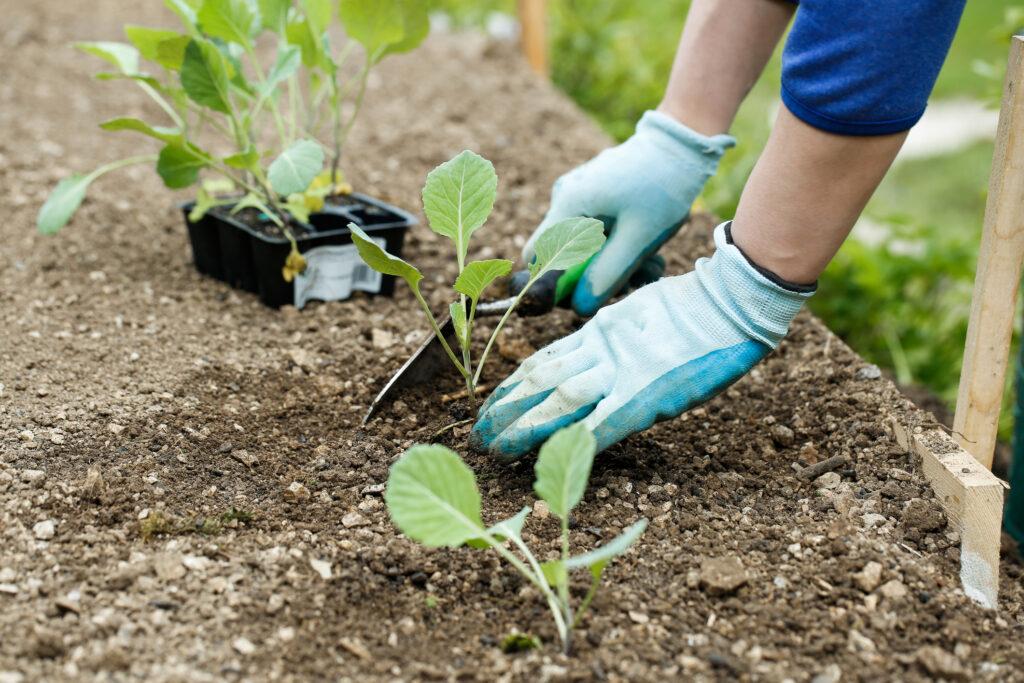Jardinero plantar, arar plántulas de brócoli en el jardín