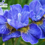 Siberian iris riverdance blue flowers in garden