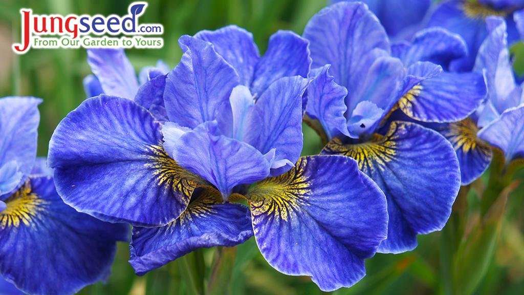 Siberian iris riverdance blue flowers in garden
