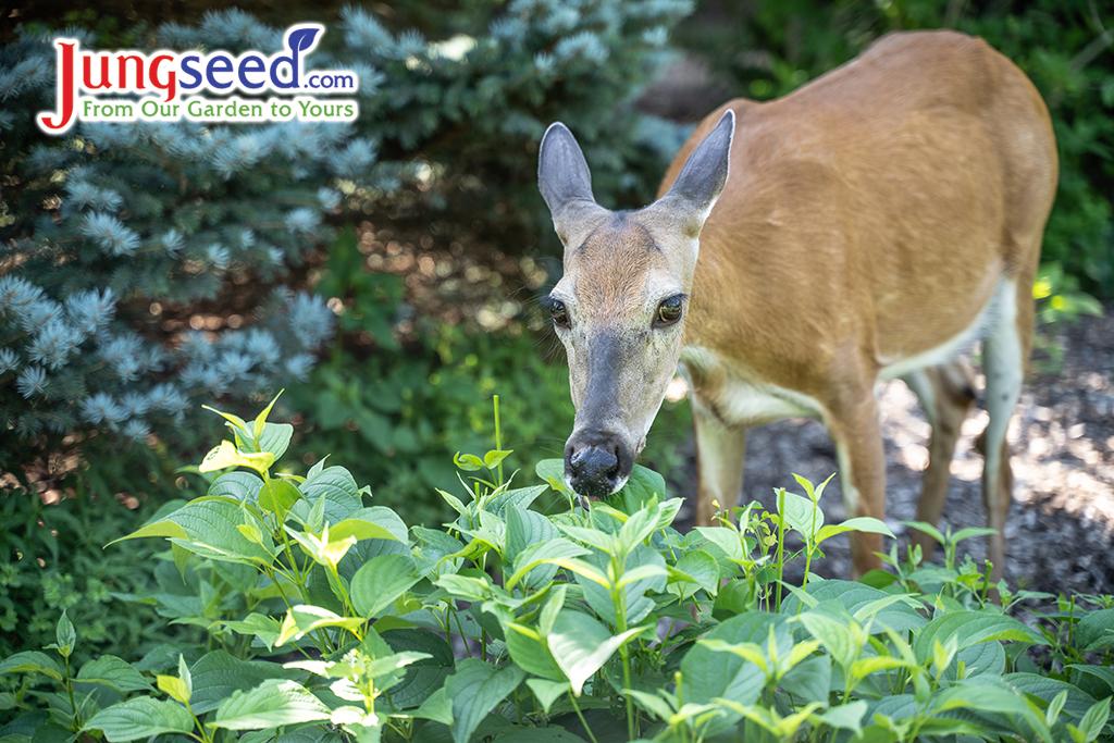 Deer-Resistant Gardening Tips