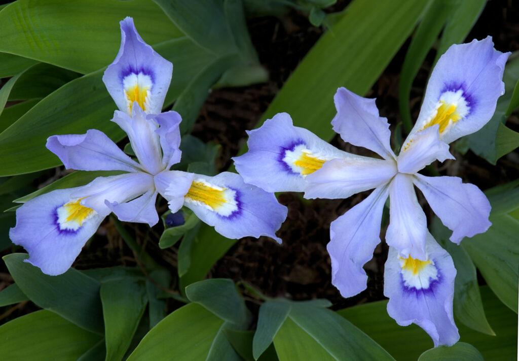 Dwarf crested iris blossoms
