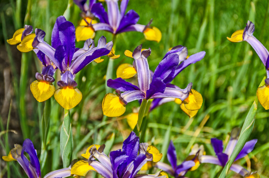 Dutch Iris in Purple and Yellow