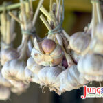 Hanging garlic on drying