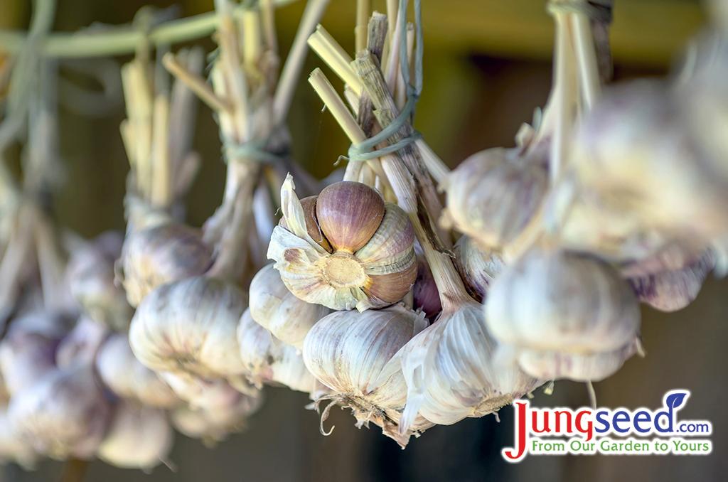 7 Popular Garlic Varieties