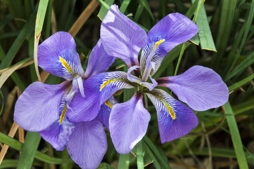 Iris unguicularis 'Broadleigh' the flowers appear in winter or early spring and is commonly known as Algerian iris