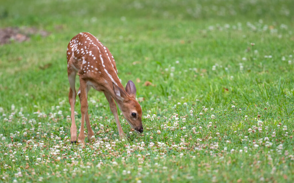 Cute white-tailed deer fawn in an open meadow in summer