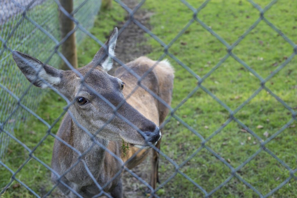 Red deer behind a chain linked fence.