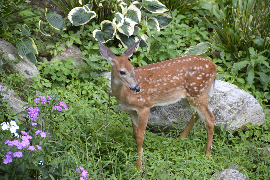 Early morning horizontal photo of a fawn in a garden with plants and rocks momentarily interrupting its meal to look up.