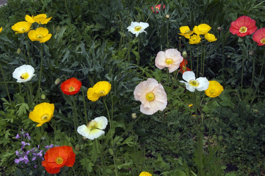 Flowerbed of colorful iceland poppies
