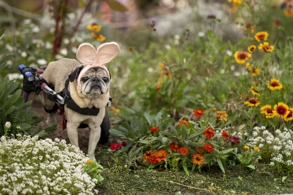 Senior Female Wheelchair Pug Dog dressed as the Easter rabbit, in bunny ears, surrounded by flowers.