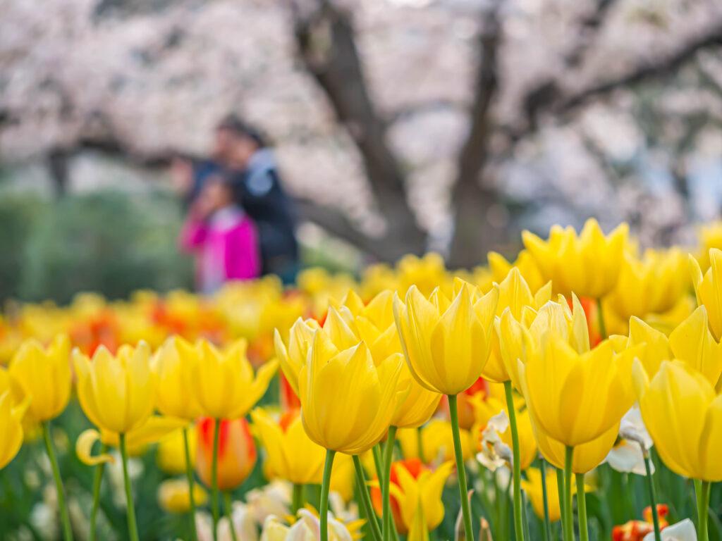 Primer plano de una flor de tulipán amarillo vivo o vibrante con la familia borrosa o el turista y el árbol floreciente de la flor de sakura en el parque o jardín en la temporada de los cerezos en flor.