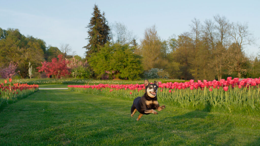 Happy senior dog running on green mowed lawn grass among colourful rows of flowering tulips. Stunning colourful tulip flowerbeds at beautiful local floricultural park on sunny spring day
