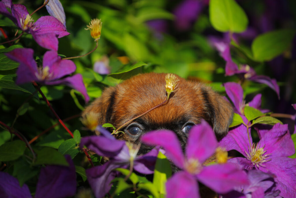 Puppy hiding behind purple flowers