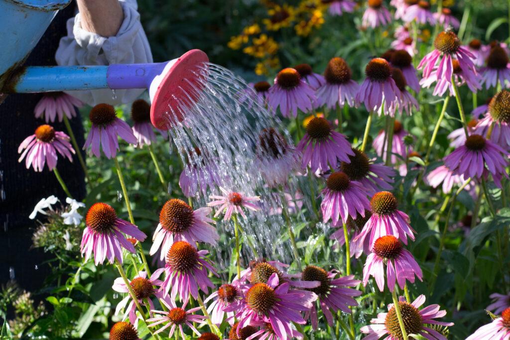Hands of elderly woman watering flowers. Echinacea.