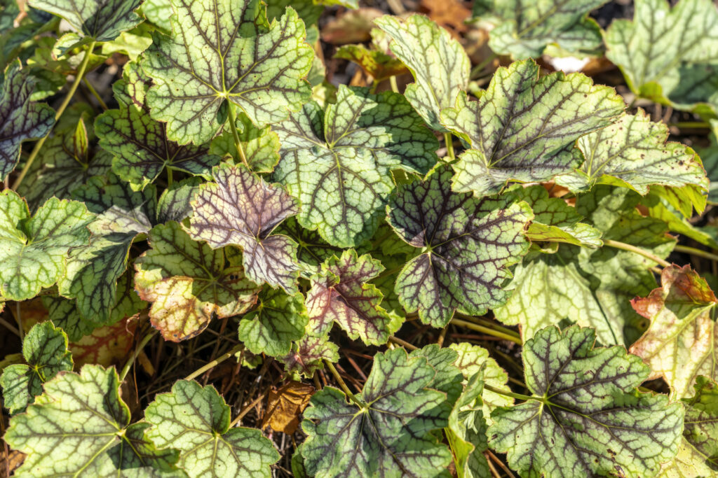 Heuchera 'Green Spice' is a herbaceous perennial a spring summer foliage plant with a pink flower commonly known as alum