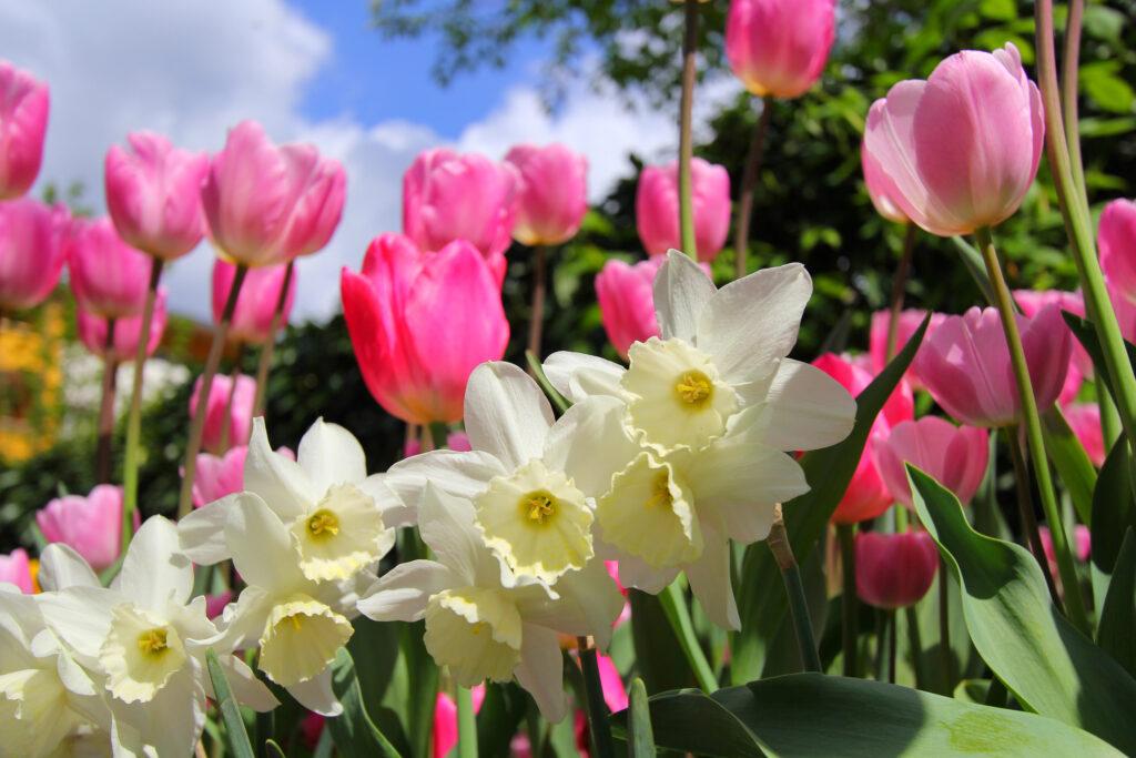 Narcisos blancos y tulipanes rosas en el jardín en primavera, con cielo azul.