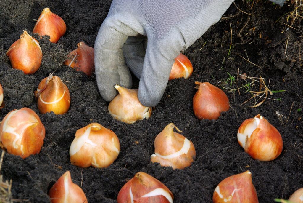 Plantar bulbos de tulipán en el suelo.