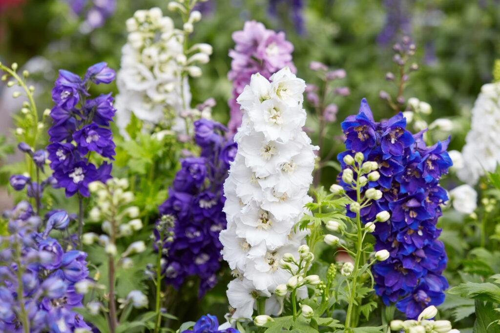 Larkspur flowers, Delphinium elatum in white, purple and blue colors
