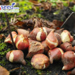 Preparation for spring season in garden, pink tulips and yellow daffodils bulbs, flowerbed in March or April
