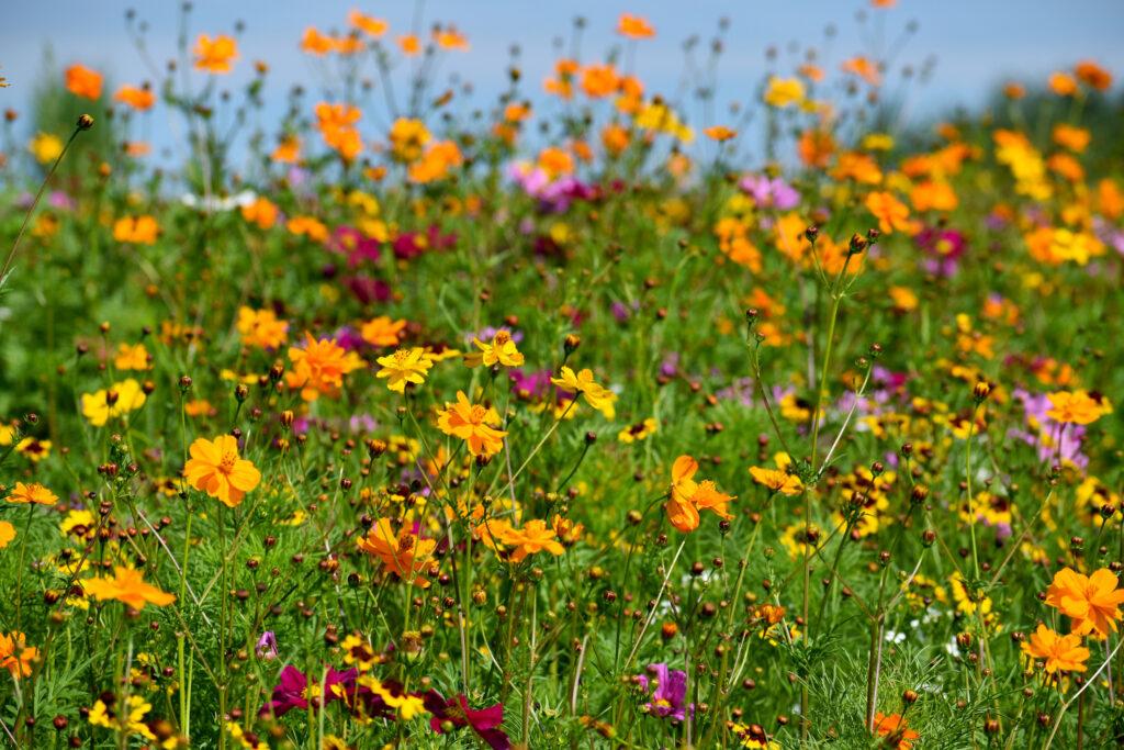 Abeja recogiendo polen en una flor amarilla rodeada de muchas flores silvestres multicolores.