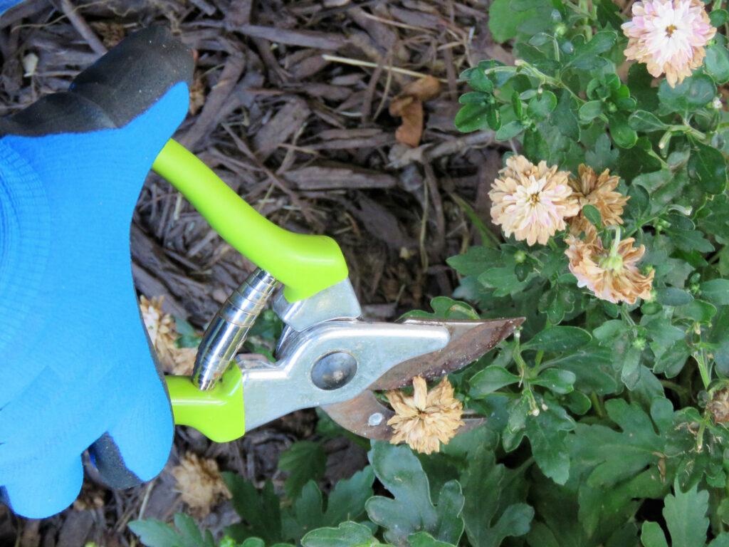 Senior Man's hand clipping dead flowers from a chrysanthemum (mum) plant. Gardener. Horticulturist. Close-up.