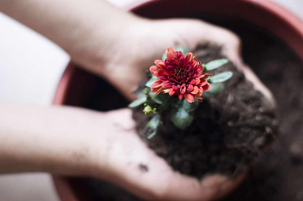 chrysanthemum flower in woman's palms with soil and stem.