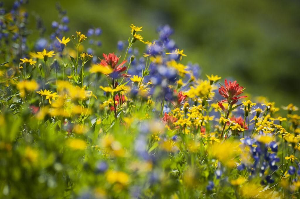Una colorida alfombra de flores silvestres decora la ladera del monte.  Baker, Washington a lo largo de la ruta de senderismo Heliotrope Ridge.  Lupino, pincel indio y ásteres amarillos.