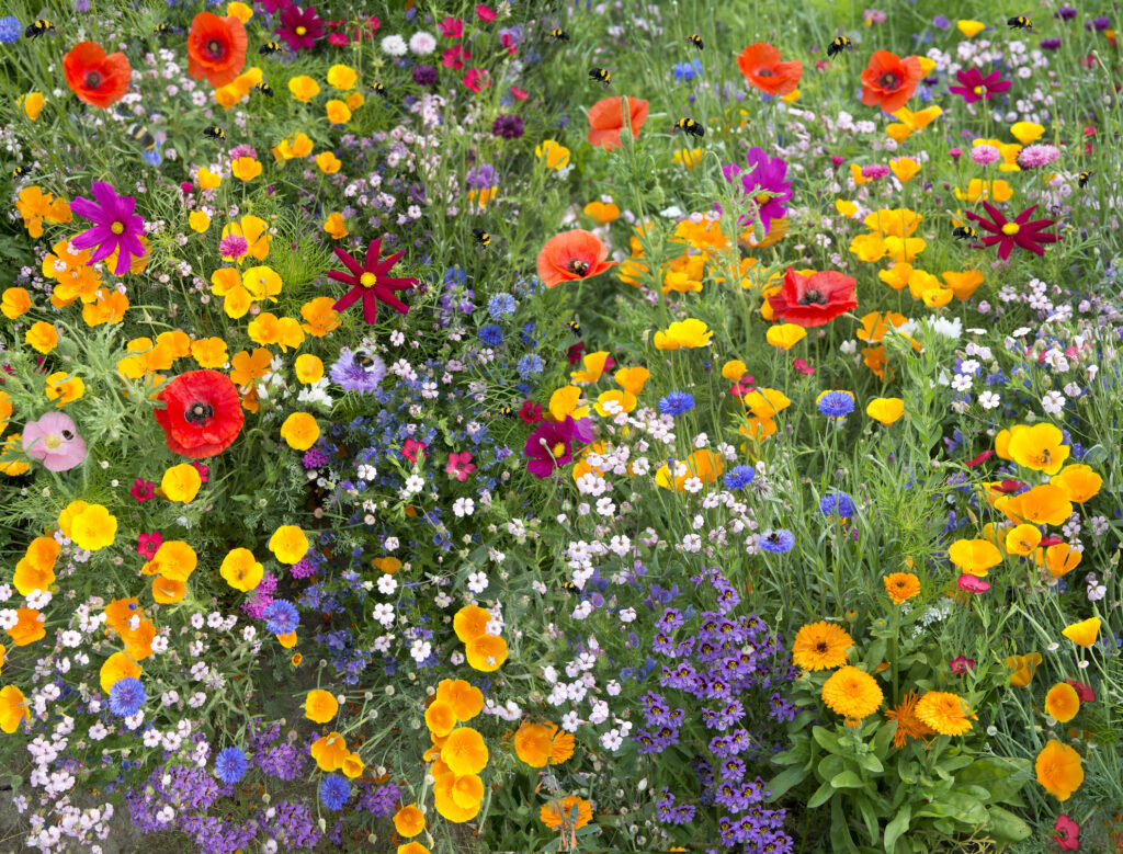 wild flower mix an attraction to many bees