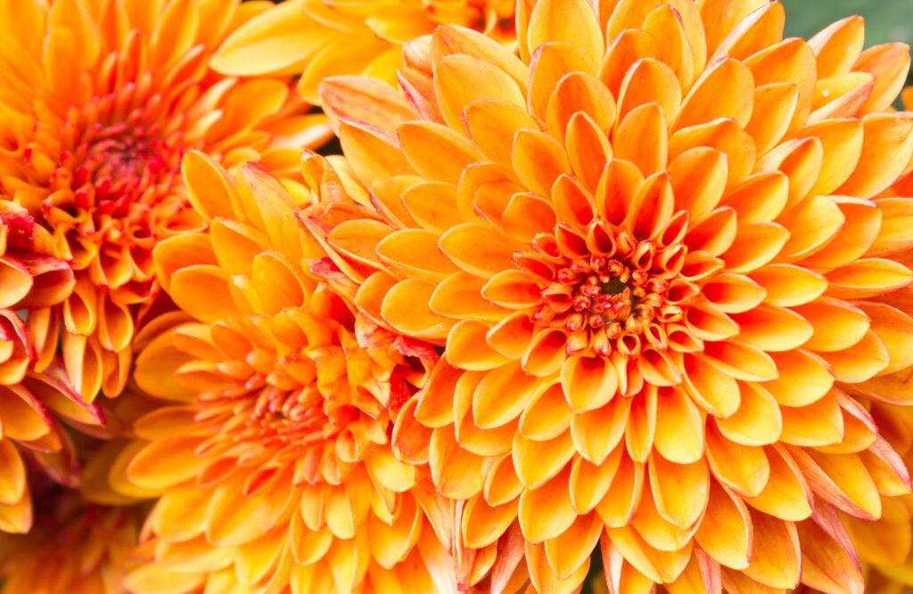 Light orange yellow Mum flowers in garden. Beautiful Mum flowers background. Mum flower for design or decoration. Cute Mum flowers