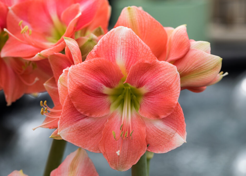 red and white amaryllis flower blooming in a natural garden