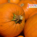 Large orange pumpkins in an upclose photo