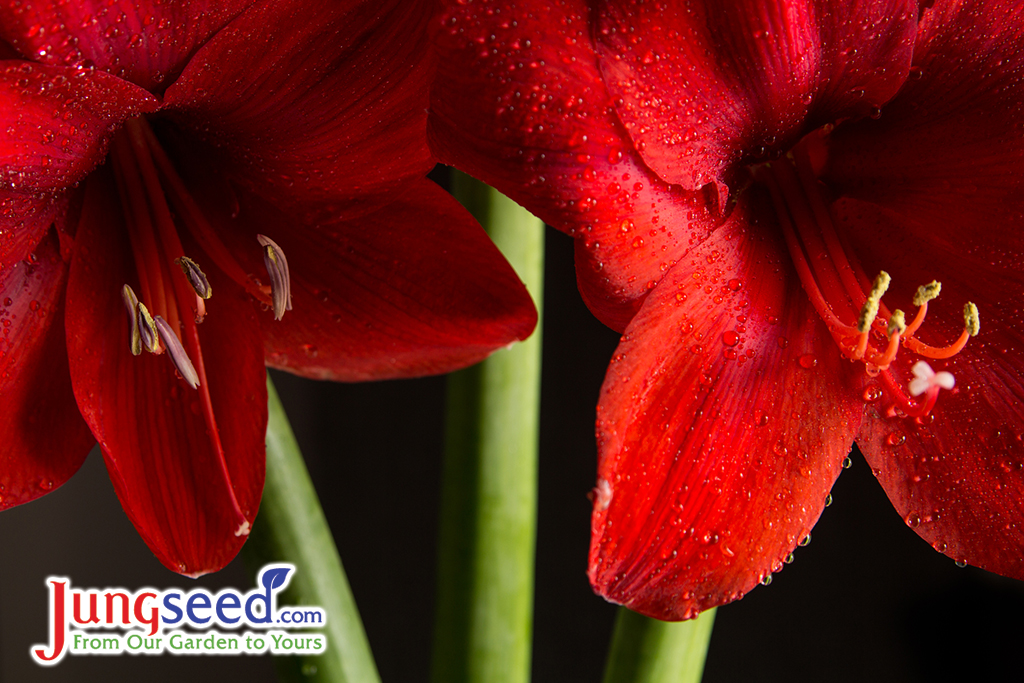 An Easy Guide to Growing Amaryllis