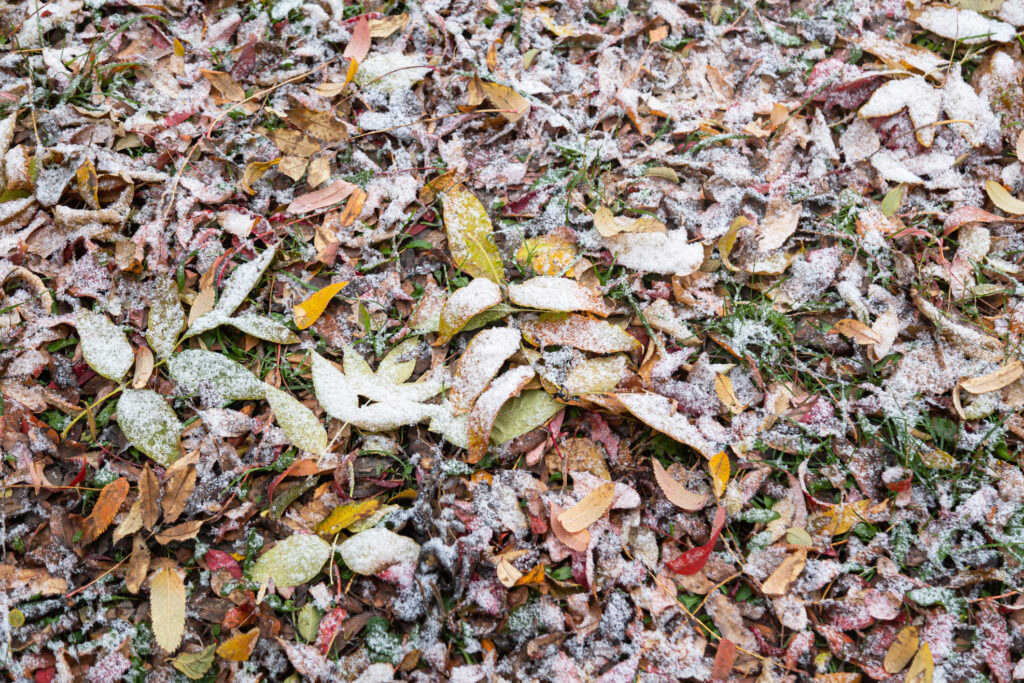 The first snow covered the fallen colored leaves and green grass. Snow season
