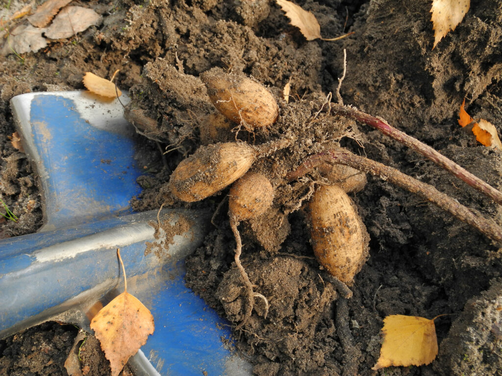 Dahlia tuber dug up from soil before winter for storage. Gardening and flower propagation.