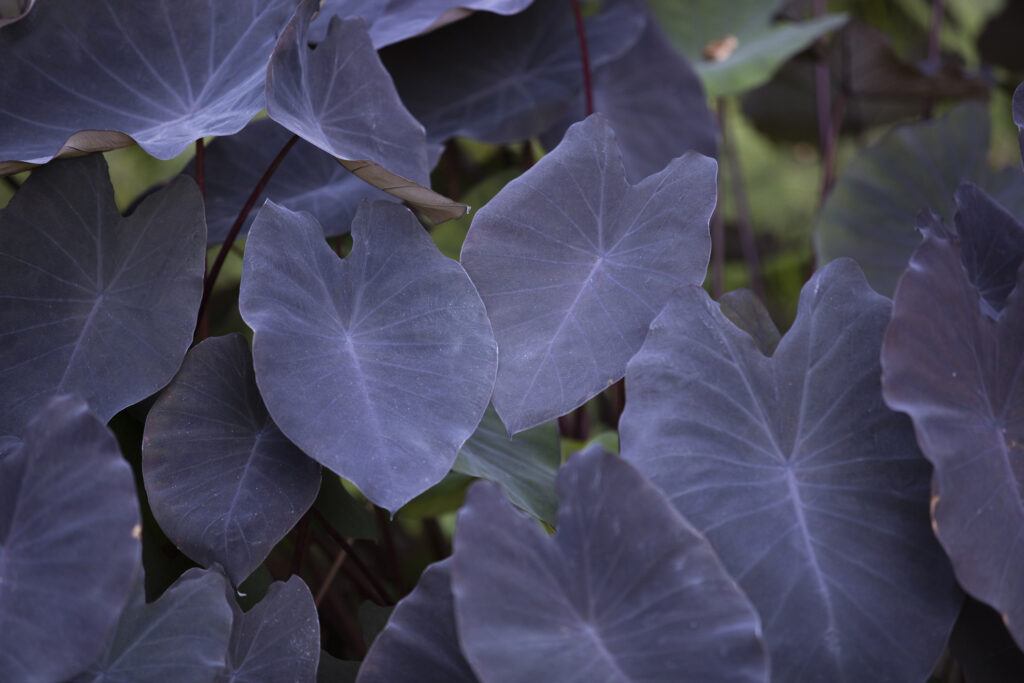 Colocasia Esculenta Plant, also called Black Magic Elephant Ear located at the Botanical Gardens in San Diego, California