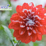 Autumn flowers of scarlet dahlias and snowflakes.
