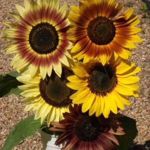 Autumn Beauty Mix Sunflower