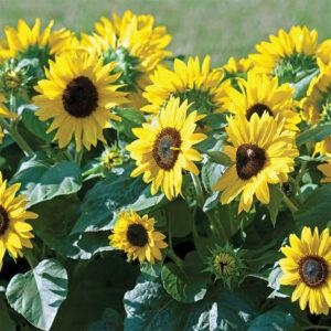 Suntastic Yellow With Black Center Sunflower