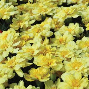 Alumia Vanilla Cream Marigold