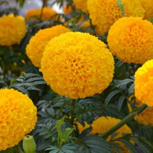 Garuda Deep Gold Hybrid Marigold
