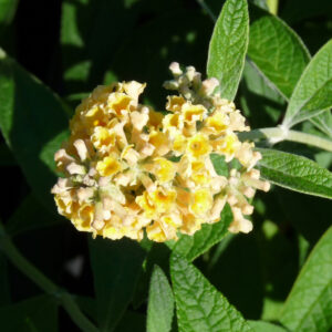Honeycomb Butterfly Bush