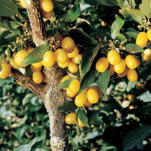 Cornelian Yellow Cherry