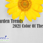 Colors of year 2021. Gray and Yellow. Sunflower on grey background.
