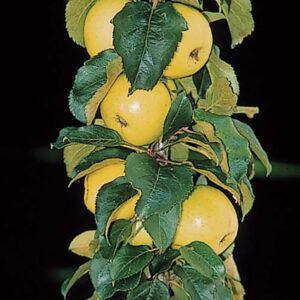 Golden Sentinel Columnar Apple