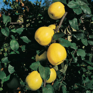 Russian Quince