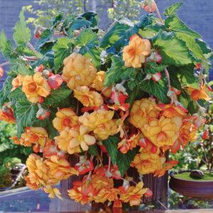Picotee Yellow Red Hanging Basket Begonia