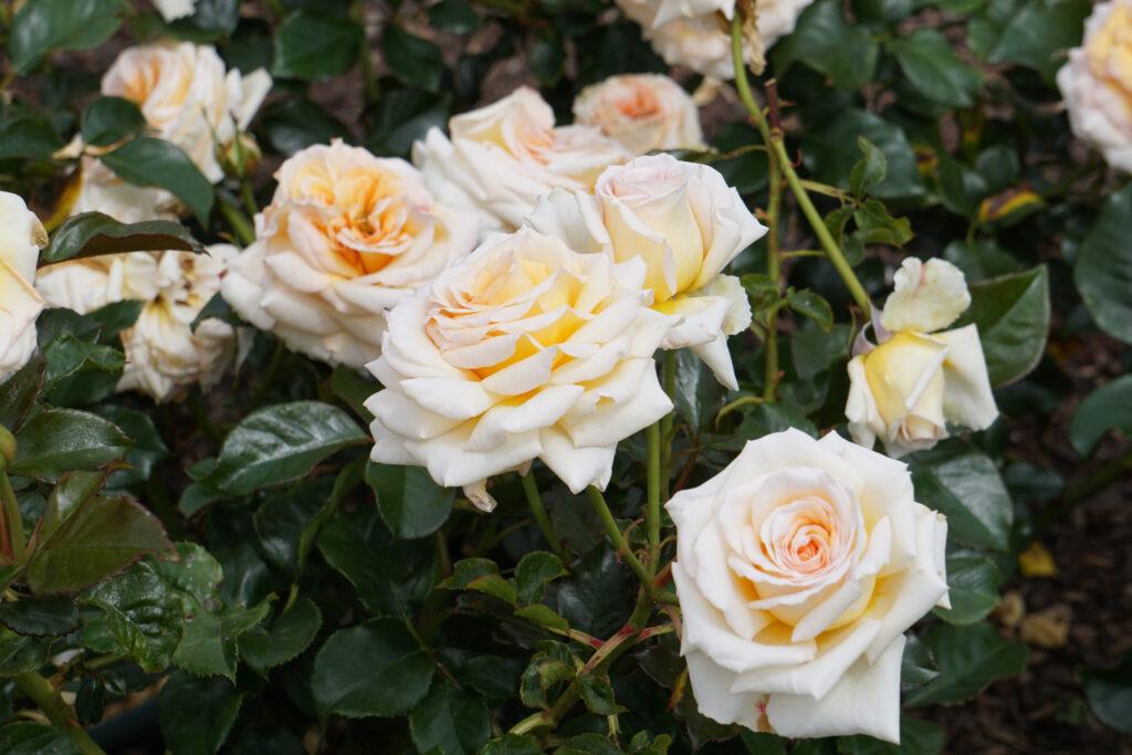 White roses in a garden