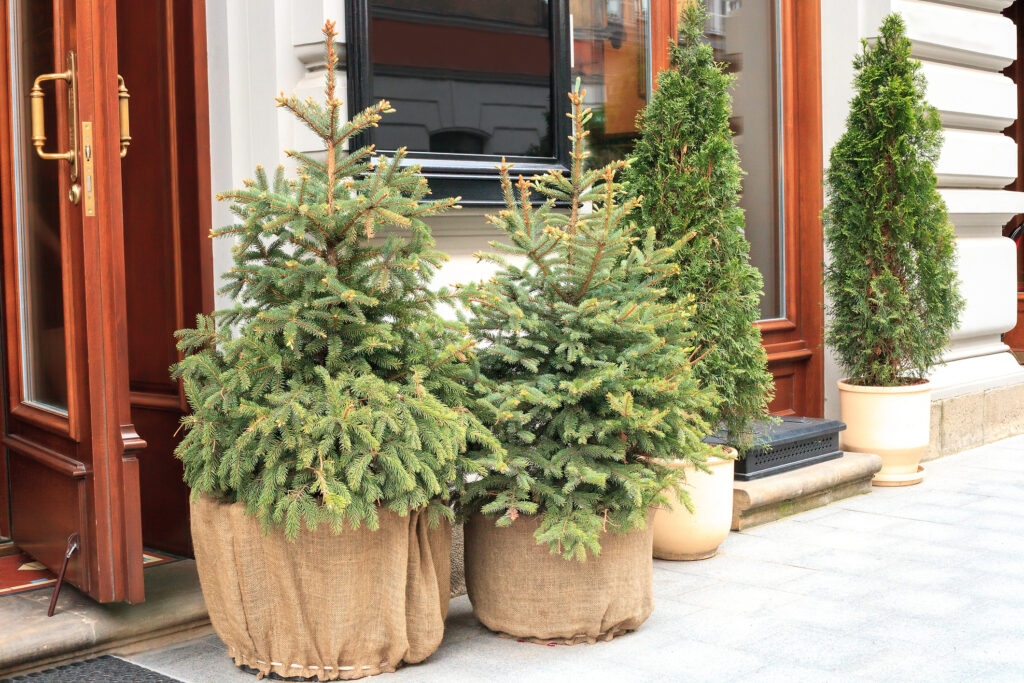 Potted evergreen small Christmas fir tree near house, holidays decor