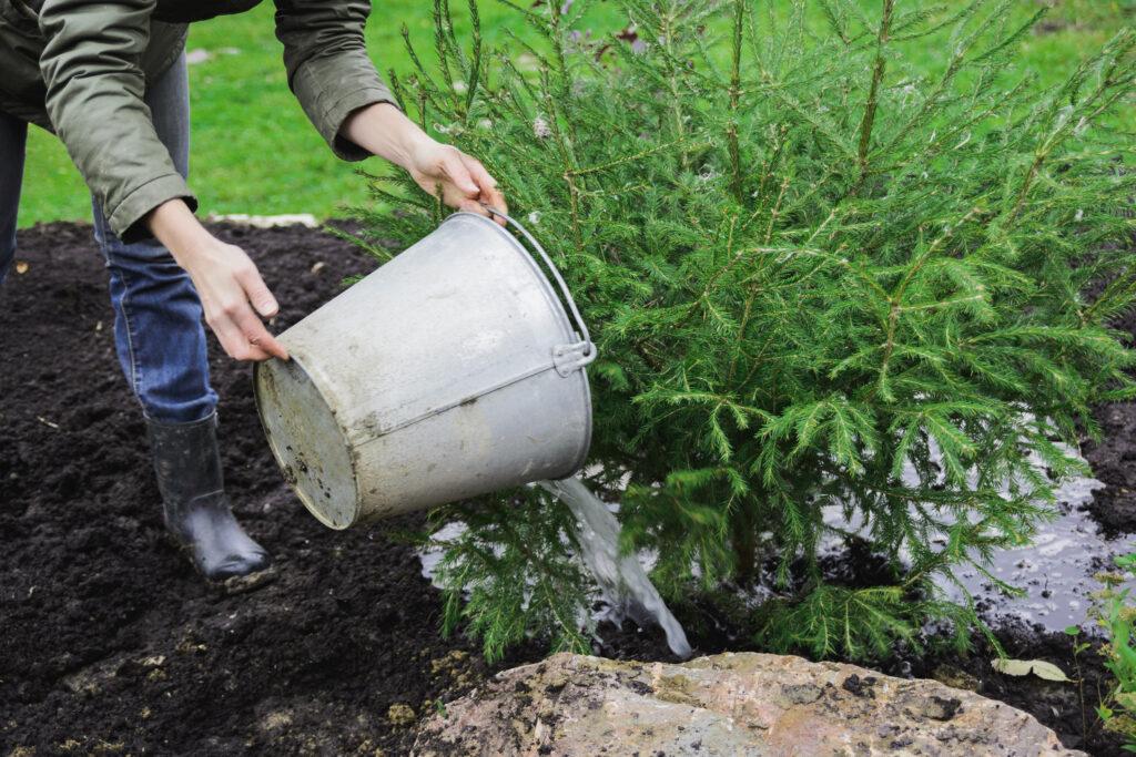 woman watering a fir tree