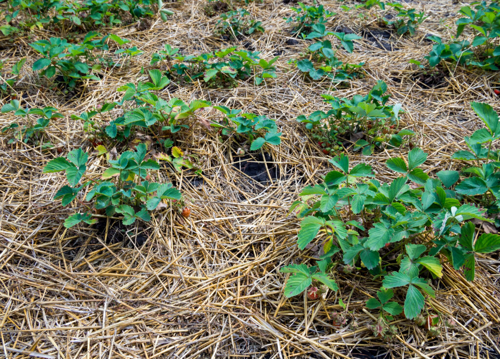 Mulching young strawberry bushes with a layer of dry straw
